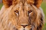 brave lion africa ipad retina
