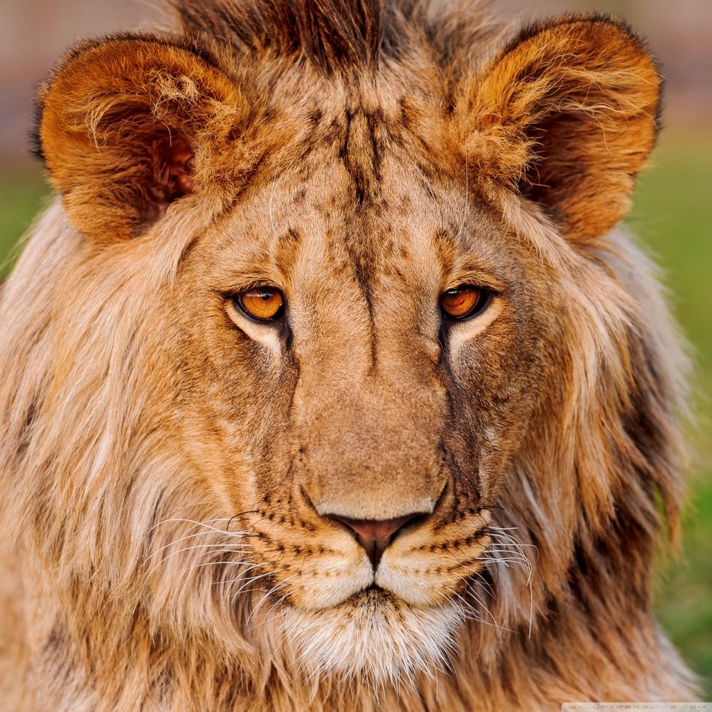 Ipad retina display wallpapers the nology - Lion 4k wallpaper for mobile ...